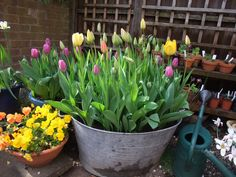 front garden design with tulip - Google Search