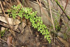 The common name for Lindsaea is neclase ferns.
