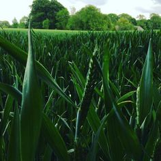 Grain on the way #visitdenmark #hedenstederne #visitjuelsminde #korn #drvejret #korn #marker #photographyeveryday #naturepics #natur #naturelovers #june #summer #igscandinavia #denmark