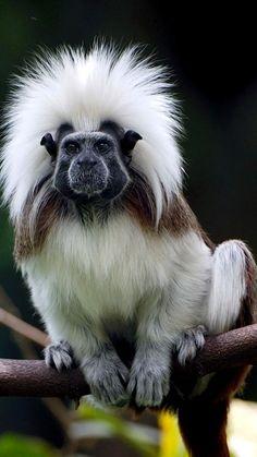 Cotton Top - Primates Wallpaper ID 1032869 - Desktop Nexus Animals Unusual Animals, Rare Animals, Animals And Pets, Funny Animals, Beautiful Creatures, Animals Beautiful, Tier Fotos, Exotic Pets, Animal Photography
