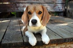 beagle on the porch