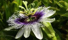 EQUILÍBRIO: A flor de maracujá, Catulo da Paixão Cearense