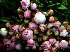 Boston Flower Market / Peonies / David Fuller
