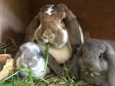 68 Best French Lops♥ images in 2018 | French lop, Rabbit, Bunny