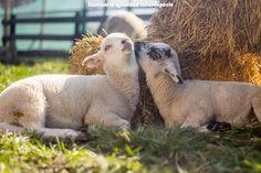 No hay amor más maravilloso que el que sienten las ovejas   Es tan impresionante conocer lo nobles generosas y pacíficas que son las ovejas que siempre queremos compartir este conocimiento con todo el mundo. Pero hoy no queremos hablarles de lo buenas que son sino de la gran capacidad de amar que tienen.  Y es que el amor más maravilloso que hemos visto en toda nuestra vida es el que sienten las ovejas por sus familias y amigos. Para ellas la vida pierde sentido si no están con sus seres…