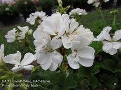Elanos White Geranium