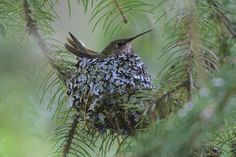Hummingbird nest in Glacier National Park. Thanks, Glacier, for the beautiful picture.
