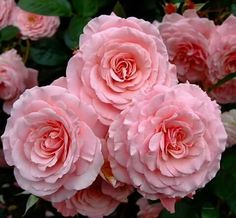 Love Rose, Pink Love, Love Flowers, Roses Only, Love Is Gone, Rose Cottage, Everything Pink, Beautiful Roses, Wonders Of The World