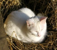 Spud cat enjoys a special stack of straw in the sunshine on a january morning at Ednovean Farm