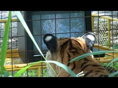 TIGER WATCHING TV - We decided to see if tigers like to watch television? We do everything we can to make our residents comfortable and stimulated while living in captivity, as part of our enrichment program we're always trying new things to see how the cats respond...