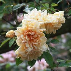 Tea Noisette Rose: Rosa 'Rêve d'Or' (France, 1869)