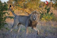 Marking territory like a boss! Kruger National Park, National Parks, Like A Boss, Predator, Panther, Safari, Lion, Animals, Image