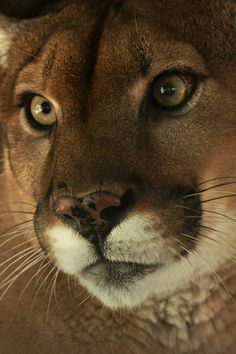 What a perfect face on this Mountain Lion Beautiful Cats, Animals Beautiful, Majestic Animals, Big Cats, Cats And Kittens, Animals And Pets, Cute Animals, Gato Grande, Mountain Lion