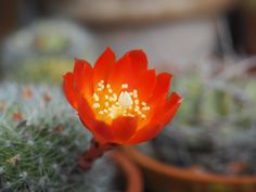 Ønsker du deg kaktus i blomst bør grunnlaget legges nå.