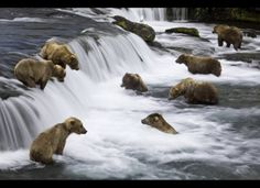 Brooks Falls Photograph by Michael Melford Although brown bears are normally solitary creatures, they congregate at places like Brooks Falls in the summer to catch and eat spawning salmon. From the National Geographic book Hidden Alaska See Ours Grizzly, Grizzly Bears, Alaska Travel, Alaska Trip, Mundo Animal, Animal Kingdom, Animals Beautiful, Places To See, Creatures