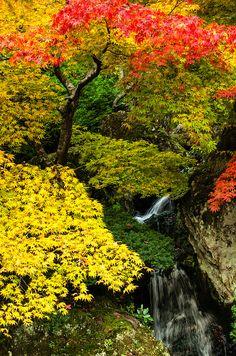 #Acero Palmato - Acer Palmatum #Maple Plant - #Momiji