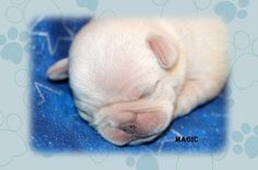 """Fairytailpuppies """"where pets are family too - Puppies Available"""