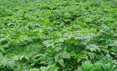 Keiskei Penumbuh Rambut: keiskei Penumbuh Rambut Dan Perawatan Rambut Herbs, Herb, Medicinal Plants