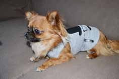 Chihuahua avec le look Oh Pacha