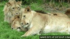 Lion ≡・ェ・≡ - コレクション - Google+