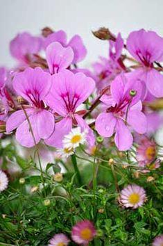 Pelargonium graveolens Rose Geranium PFAF Plant Database