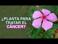 LA PLANTA QUE ESTÁ REVOLUCIONANDO LAS NOTICIAS PORQUE MUEREN LAS CÉLULAS CANCERÍGENAS AL INSTANTE DE - YouTube