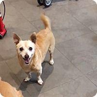 Adopt A Pet :: Chiquito - Key Biscayne, FL