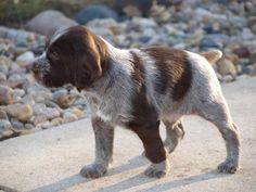 German Wirehaired Pointer Pup