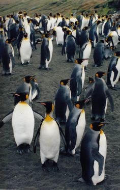 El pingüino rey (Aptenodytes patagonicus) Entre los pingüinos el Pingüino Rey es el segundo más grande, el Pingüino Emperador es un poco mayor. Claro, eso es comparándolo con los pingüinos que existen hoy en día, porque se han encontrado fósiles de otras especies muy similares en forma pero mucho más grandes que estos dos. Además del tamaño, a simple vista el Pingüino Rey se distingue del Pingüino Emperador en tener el plumaje más colorido.