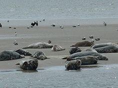Zeehonden op het Wad genieten bij laagwater van de zon.