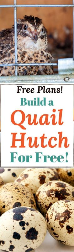 Got quail? They will need a place to live and lay eggs! Here's free DIY plans that show you how to build a quail coop with recycled materials!