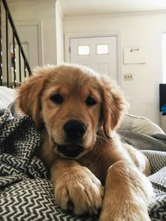 Snuggling Golden Retriever puppy