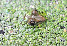 frog gives the hairy eyeball  from http://awaytogarden.com/slideshow-and-podcast-august-gratitude-list