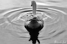 #Lago #Ganso #fotografia #pb