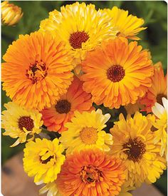 "MIX-CALENDULA is the flower for October: The Victorians' hidden message in sending the calendula flower was, ""My thoughts are with you."" In the language of flowers the calendula flower means ""winning grace."""