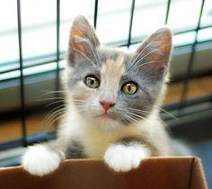 Adopt Clara On Petfinder Pretty Cats Calico Kitten Cat Love