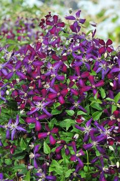 Clematis 'Sweet Summer Love' is a fragrant repeat bloomer with dark magenta/violet blooms.  Clematis is hardy and deer resistant. A great way to dress up a fence.