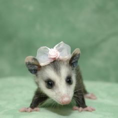 Pretty baby opossum with a bow.  Too cute.