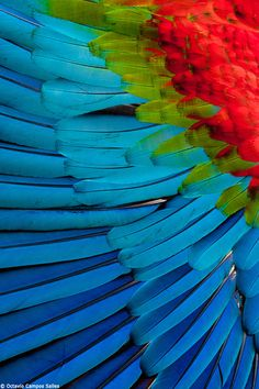"Amazing colors of nature ❤ ""Macaw feathers"" by Octavio Campos Salles"