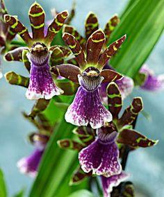 Orkidé 'Zygopetalum' Orkidé - 'Zygopetalum' är en ovanlig, iögonfallande orkidé från Sydamerikas inland. De vit- och lilafärgade bredläppade orkidéblommorna har en fantastisk doft. Kan blomma igen efter en 10 veckors viloperiod. Leveranshöjd ca 30 cm.