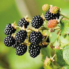 Fresh bunch of blackberry fruit on branch and green leaves in nature. Close-up, horizontal shot, soft focus green background. Fresco, Potted Trees, Edible Garden, Fruit Trees, Fruit Bushes, Williams Sonoma, What To Cook, Fruits And Veggies, Gardens