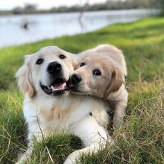 Sneaking kisses Use code SPENCER10 for KonaLeashes discount Post by @kylo_and_vader #GoldenRetriever #GoldenRetrieverPuppy #GoldenPups #DailyGoldens #DogsOfInstagram #PuppiesOfInstagram #Puppies #WeLoveGoldens #advertising #marketing #Dailypuppy #Goldens #Puppy #hustle #entrepreneur