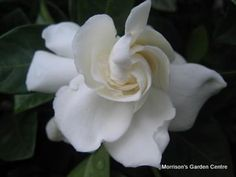 Gardenia magnifica. Dense evergreen rounded shrub. 1.5-2m x 1.5-2m. Suitable for borders and hedges, also good for pots. Double white flowers.