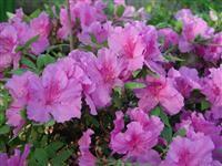 Image of Rhododendron 'Elsie Lee' (Shammarello Hybrid)