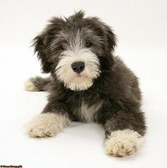 bearded collie puppy - oh my goodness, I[m dying. I have to have one of these sweet little guys!