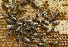 Beehives of activity generate big buzz  - Photo: Heribert Proepper, Associated Press / SF