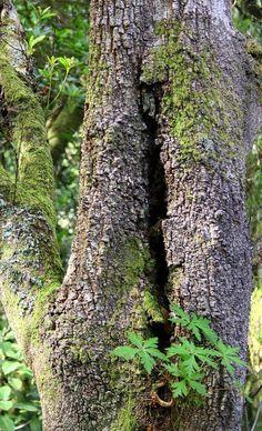 """"""" VIDA SOBRE VIDA. """":  Los troncos de los árboles, ayudan a otros pequeños seres vivos. El Ser Humano no.  Foto Lienzo de A.J.G.F."""
