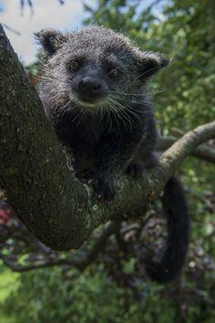 Asian bearcat