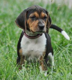 Treeing Walker Coonhound Puppy