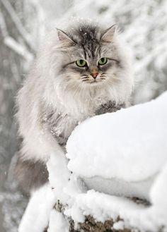 ♔ Snowy cat